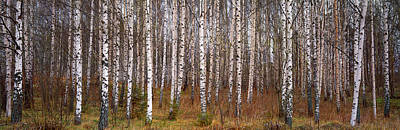 Silver Birch Trees In A Forest, Narke Poster