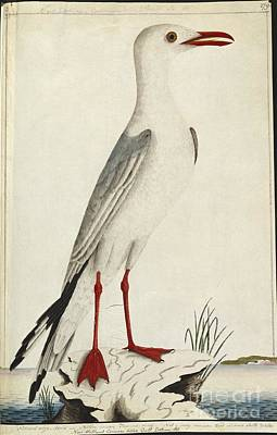 Silver Gull, 18th Century Poster by Natural History Museum, London