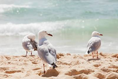 Silver Gulls On Manly Beach Poster by Ashley Cooper