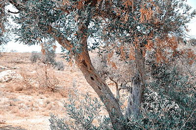 Silver Olive Trees. Nature In Alien Skin Poster by Jenny Rainbow