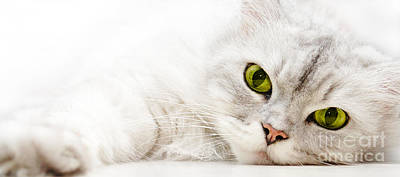 Poster featuring the photograph Silver Shaded Persian by Carsten Reisinger