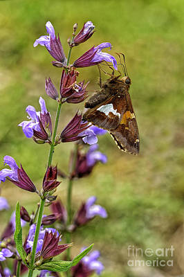 Silver-spotted Skipper On Sage Poster by Thomas R Fletcher
