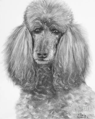 Silver Standard Poodle Drawing Poster by Kate Sumners