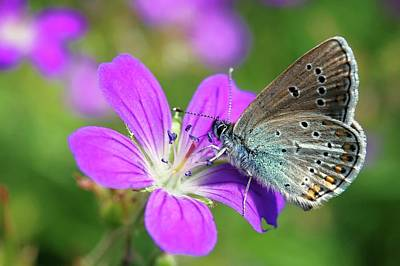 Silver-studded Blue On Geranium Poster by Heiti Paves