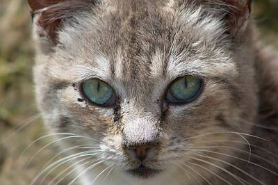 Silver Tabby But What Color Eyes Poster