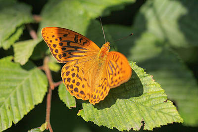 Poster featuring the photograph Silver-washed Fritillary  - Male - Argynnis Paphia by Jivko Nakev