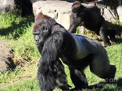 Silverback Gorilla 7d27234 Poster by Wingsdomain Art and Photography