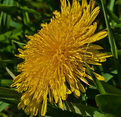 similar to dandelion - Yellow flower in green environment Poster