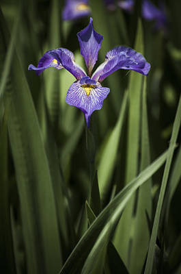 Poster featuring the photograph Single Iris by Penny Lisowski