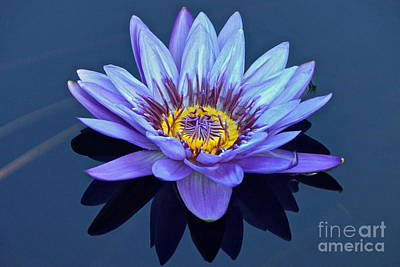 Single Lavender Water Lily Poster by Byron Varvarigos