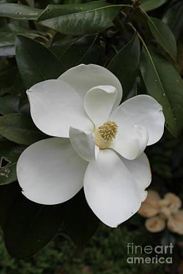 Single Magnolia Poster
