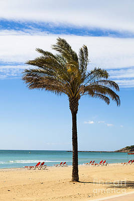 Single Palm Tree On Beach With Unoccupied Sun Loungers Poster