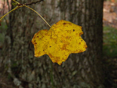 Poster featuring the photograph Single Poplar Leaf by Nick Kirby