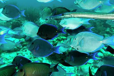 Single Trumpetfish Swimming Among Poster by James White