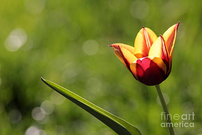 Single Tulip Poster by Kenny Glotfelty