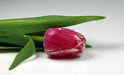 Single Tulip With Raindrops Poster