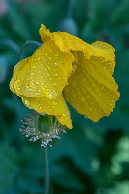 Single Yellow Poppy Poster by Eti Reid