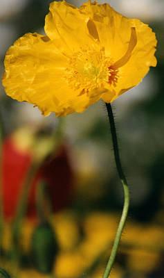 Single Yellow Poppy Poster