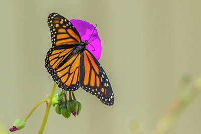 Sipping Monarch Butterfly On A Purple Poster by Michael Qualls