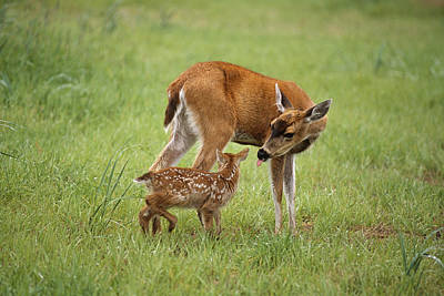 Sitka Black Tail Doe With Fawn In Poster by Doug Lindstrand