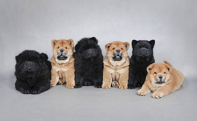 Six Little Chow Chow  Puppies Portrait Poster