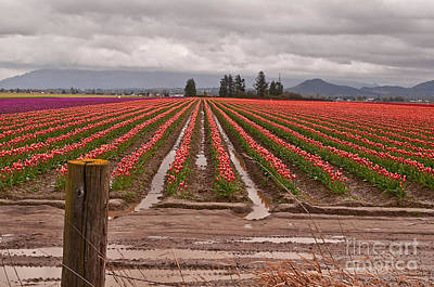 Poster featuring the photograph Skagit Valley Tulip Farmlands In Spring Storm Art Prints by Valerie Garner
