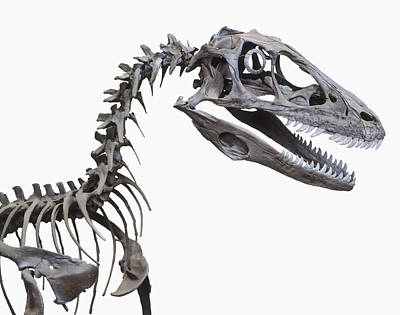 Skeleton Of A Deinonychus Poster by Dorling Kindersley/uig