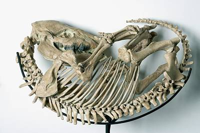 Skeleton Of An Extinct Rhinoceroses Poster