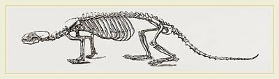 Skeleton Of European River-otter Poster