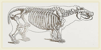 Skeleton Of Hippopotamus Poster by Litz Collection