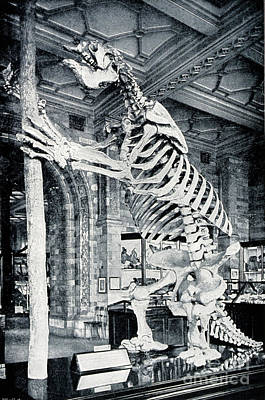 Skeleton Of South American Ground Sloth Poster