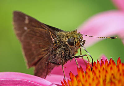 Skipper Moth Poster
