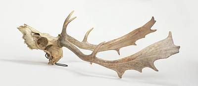 Skull And Antlers Of Fallow Deer Poster