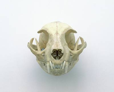 Skull Of Domestic Cat Poster