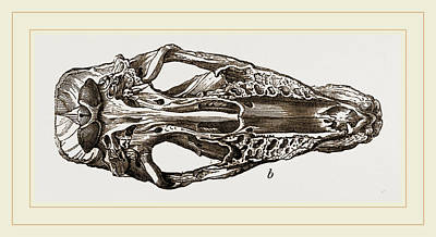 Skull Of Fossil Rhinoceros Poster by Litz Collection