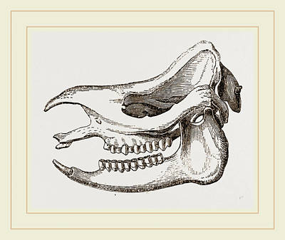 Skull Of Javanese Rhinoceros Poster by Litz Collection