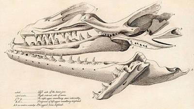 Skull Of Mososaurus Poster