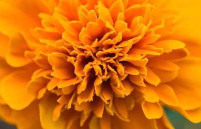Skunk Flower Orange Poster