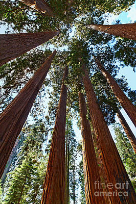 Skyscrapers - A Grove Of Giant Sequoia Trees In Sequoia National Park In California Poster by Jamie Pham
