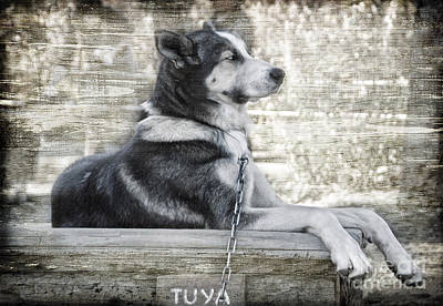 Poster featuring the photograph Tuya - Sled Dog Of Denali by Dyle   Warren