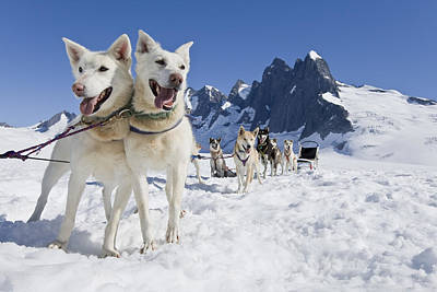 Sled Dog Team Standing On The Juneau Poster by John Hyde