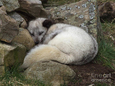 Sleeping Arctic Fox Poster