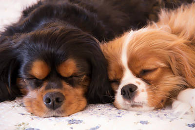 Sleeping Cavalier King Charles Spaniels Poster by Daphne Sampson