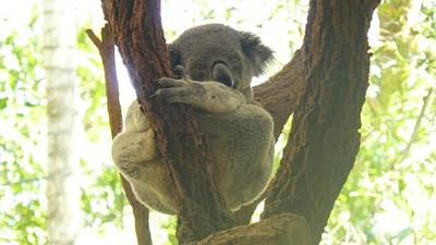 Sleeping Koala In Tree Poster by Mary J Tait