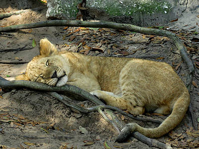 Sleeping Lion Cub 1 Poster by J M Farris Photography
