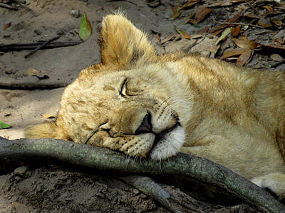 Sleeping Lion Cub 2 Poster by J M Farris Photography