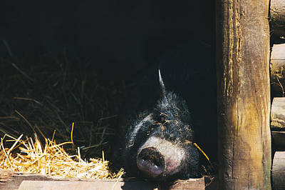 Sleeping Potbelly Pig Poster by Pati Photography