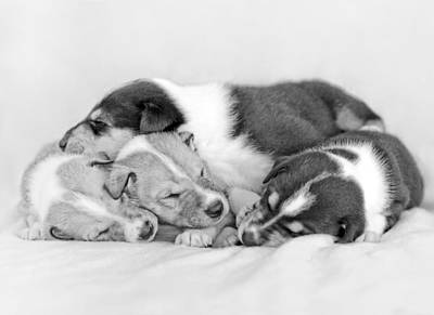 Sleeping Smooth Collie Puppies  Poster