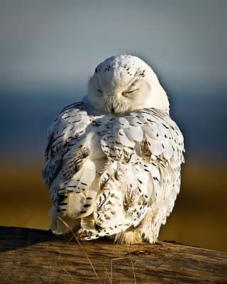 Sleeping Snowy Owl Poster