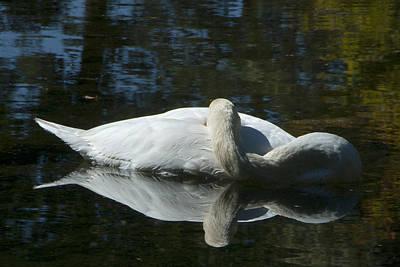 Sleeping Swan Poster